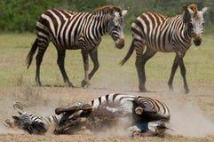 Liegendes Zebra ein Staub Kenia tanzania Chiang Mai serengeti Maasai Mara Stockbilder