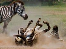 Liegendes Zebra ein Staub Kenia tanzania Chiang Mai serengeti Maasai Mara Stockbild