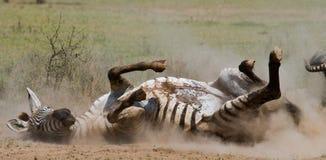 Liegendes Zebra ein Staub Kenia tanzania Chiang Mai serengeti Maasai Mara Lizenzfreie Stockfotos