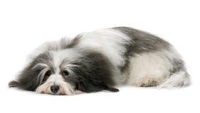 LiegenHavanese Hund Lizenzfreies Stockbild