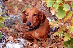 Liegenhund im Wald Stockbild