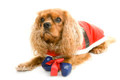 Liegenhund mit dem Geschenkknochen Stockfotografie