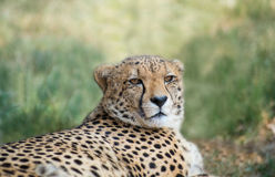 Lieing cheetah. Portrait of cheetah female lieing in safari Stock Images
