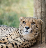 Lieing cheetah. Portrait of cheetah female lieing in safari Stock Photography