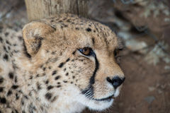 Lieing cheetah. Portrait of cheetah female lieing in safari Stock Photos