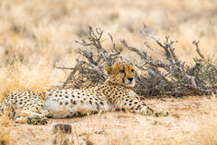 Lieing cheetah in Solitaire, Namibia. Royalty Free Stock Images