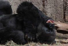 Lieing gorilla Stock Photos