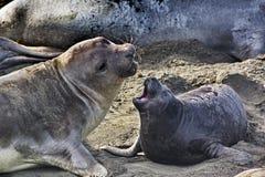Lien étroit de mère et de chiot de joint d'éléphant Image libre de droits