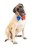 Lien de fête rouge et bleu de chien de mastiff Photographie stock libre de droits