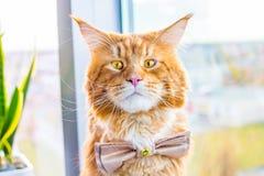 Lien de papillon de port choqué drôle de Maine Coon Cat de marié nerveux et attente de son mariage, concept de mariage Image libre de droits