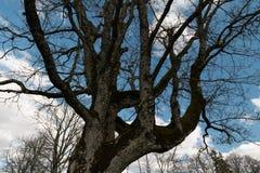 LIEPUPE, LETÓNIA - 13 DE ABRIL DE 2019: Árvore velha - solar de Liepupes Muiza no tempo ensolarado bonito da mola com céu azul foto de stock