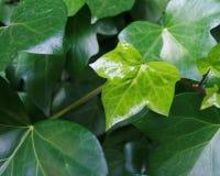 Lierre anglais avec la feuille vert clair toute neuve Photographie stock libre de droits