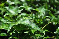 Lierre après pluie Photo stock