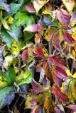 Lierre coloré photo stock