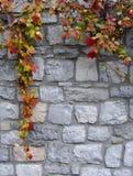 Lierre coloré d'automne devant un mur en pierre Photos stock