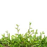 Lierre d'herbe verte d'isolement Photo libre de droits