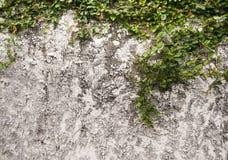 Lierre dans le vieux mur Photo libre de droits