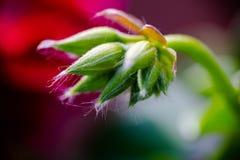 Lierre de géranium, peltatum de pélargonium, rêve rouge, écoulement peu développé Image libre de droits