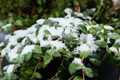 Lierre de Milou avec des feuilles couvertes dans la neige Images libres de droits