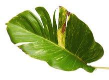 Lierre du ` s de diable, pothos d'or, aureum d'Epipremnum, vigne en forme de coeur de feuilles avec de grandes feuilles d'isoleme images stock