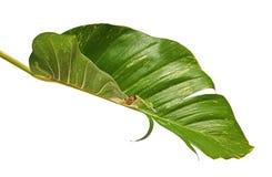 Lierre du ` s de diable, pothos d'or, aureum d'Epipremnum, vigne en forme de coeur de feuilles avec de grandes feuilles d'isoleme image stock