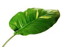 Lierre du ` s de diable, pothos d'or, aureum d'Epipremnum, vigne en forme de coeur de feuilles avec de grandes feuilles d'isoleme photo stock