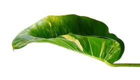 Lierre du ` s de diable, pothos d'or, aureum d'Epipremnum, vigne en forme de coeur de feuilles avec de grandes feuilles d'isoleme image libre de droits