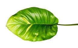 Lierre du ` s de diable, pothos d'or, aureum d'Epipremnum, vigne en forme de coeur de feuilles avec de grandes feuilles d'isoleme photos stock