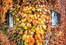 Lierre en automne Photos libres de droits