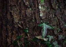 Lierre s'élevant sur un tronc d'arbre images stock