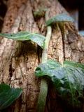 Lierre s'élevant sur un vieil arbre avec la texture criquée image stock