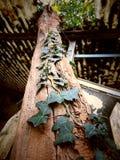 Lierre s'élevant sur un vieil arbre avec la texture criquée photos libres de droits