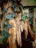 Lierre s'élevant sur un vieil arbre avec la texture criquée image libre de droits
