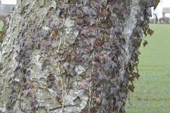 Lierre s'élevant sur un vieux chêne Photographie stock libre de droits