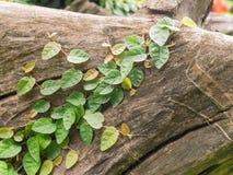 Lierre sur des tronçons d'arbre en parc Image stock