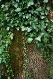 Lierre sur l'écorce d'arbre Photo libre de droits