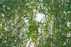 Lierre sur le fond blanc de texture de mur Photographie stock libre de droits