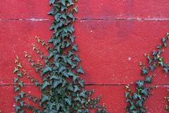 Lierre sur le mur rouge Photographie stock libre de droits