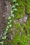 Lierre sur un arbre Images libres de droits