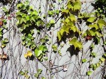 Lierre sur un mur Image stock