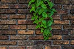 Lierre sur un mur de briques Images libres de droits