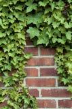 Lierre sur un mur de briques rouge Image stock