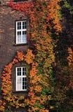 Lierre varié sur un mur de briques Photos stock