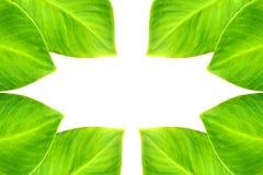 Lierre vert Photo stock