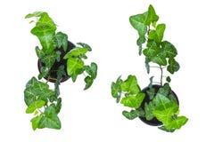 Lierre vert dans le pot, d'isolement sur un fond blanc, vue supérieure images stock