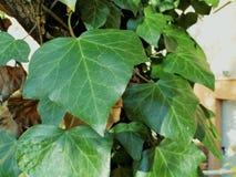 lierre vert sur l'arbre Photographie stock