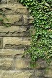Lierre vert sur le vieux mur en pierre Photographie stock libre de droits