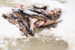 lies för fiskeis bara blockerade vinterzander royaltyfri bild