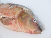 lies f?r fiskeis bara blockerade vinterzander Levande fisk Karp i sn?n royaltyfri fotografi