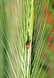 Lieveheersbeestje royalty-vrije stock afbeelding